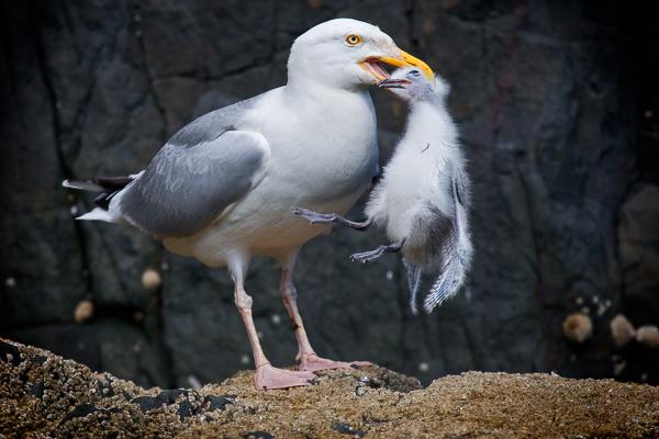 Herring Gull eating a Kittiwake Chick - Farne island
