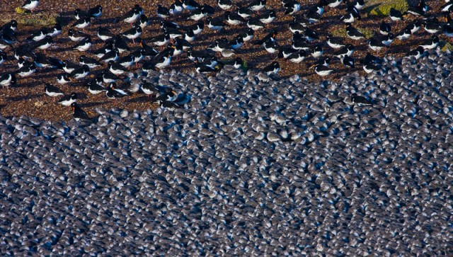 Huge Crowd of Knot - Calidris canuta and Oyster Catcher - Haemat