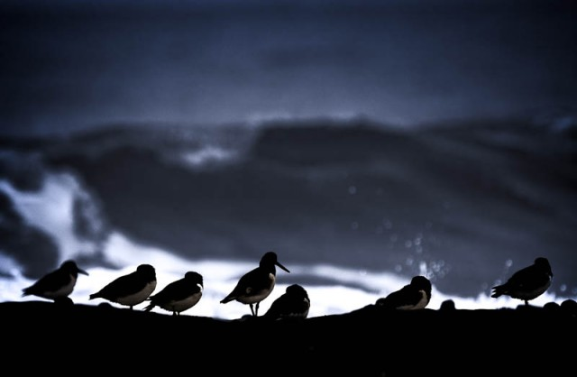 Oyster Catchers - Seahouses