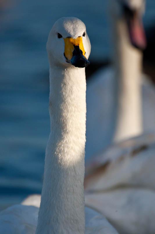 Whooper Swan - Watermead - Leicester