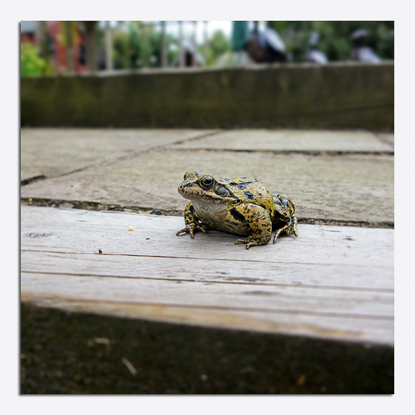 2014-08-01 - IMG_2423 - Common Frogtif - blog