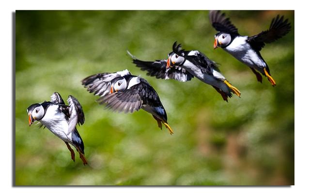Puffins landing - Skomer - Export