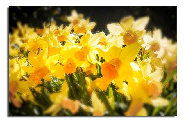 Easter Daffodil No 2