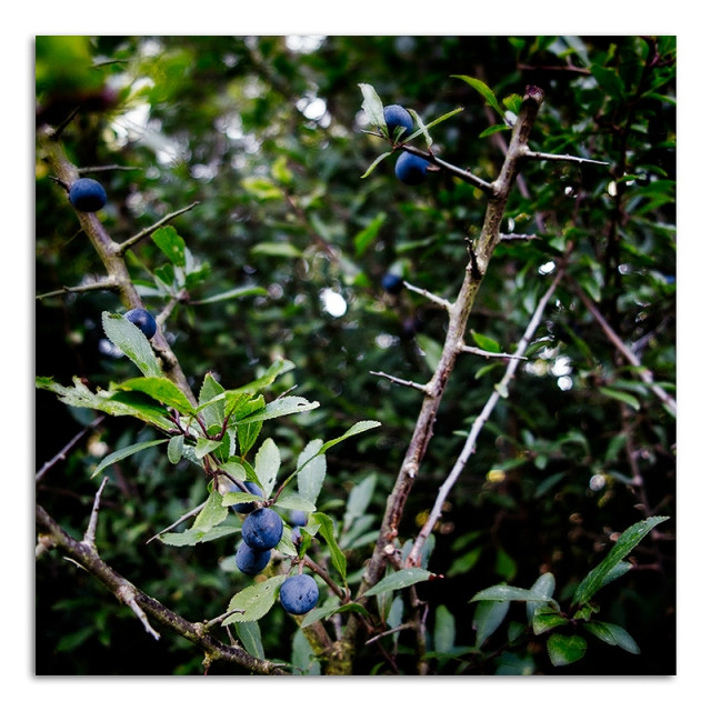 20150910-IMG_4612-Blue Berry