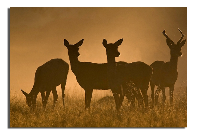 Red Deer - Cervus elaphus - group together in dawn mist