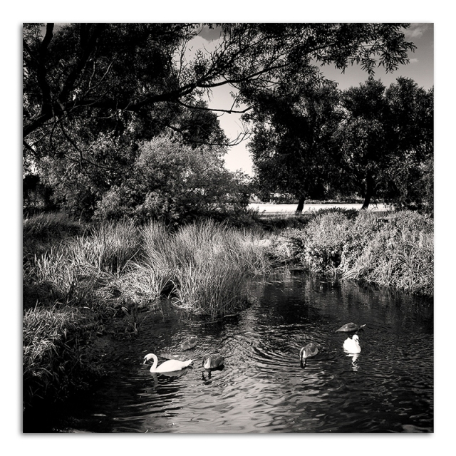 Swans on River Soar