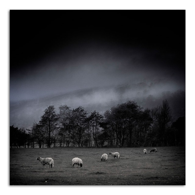 Sheep in Field - Bishopdale