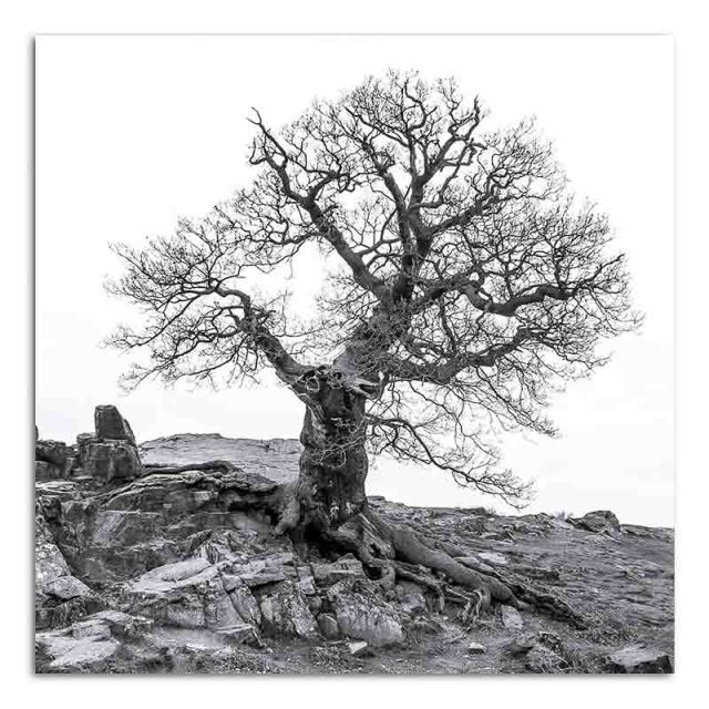Oak Tree - Bradgate Park