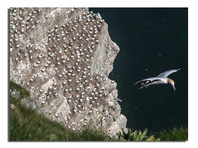 Gannet by Cliffside