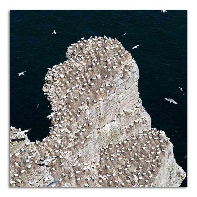 Gannets Nesting