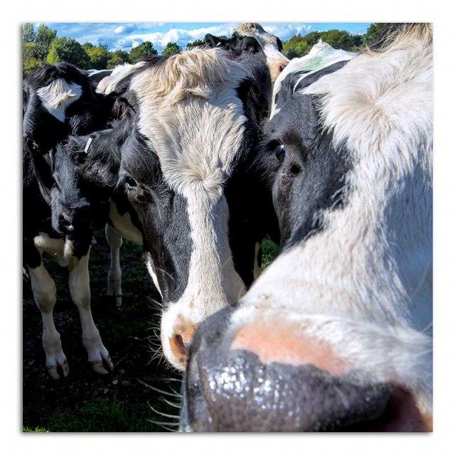 cow-posse-no1