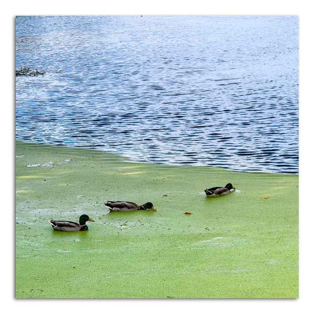 mallards-in-pond