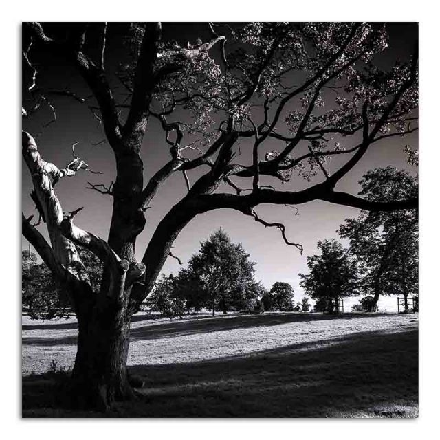 old-tree-benington-hall