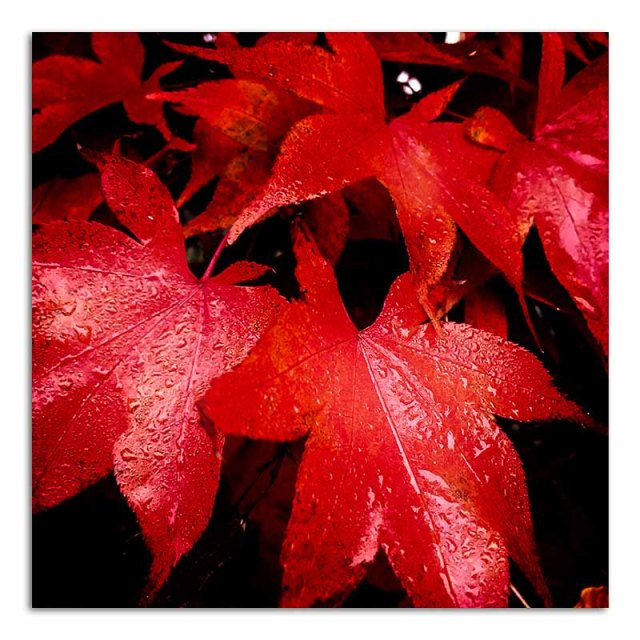 acer-autumn-leaves