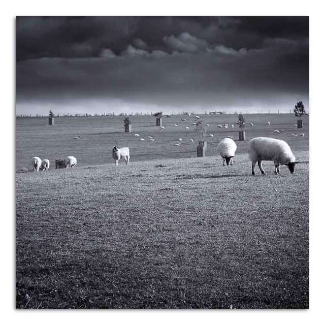 sheep-in-field