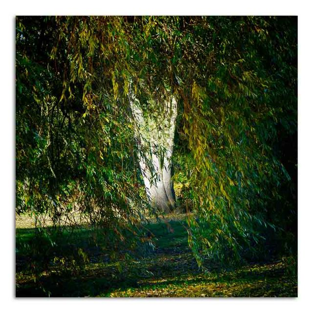 willow-tree-trunk-jubilee-park