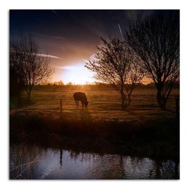 cow-at-dawn