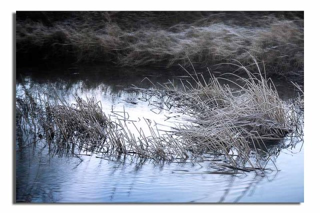 reeds-in-the-river