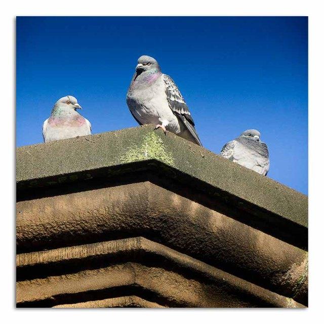 three-pigeons