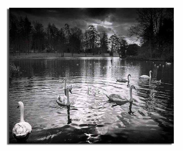 mute-swans-stowe