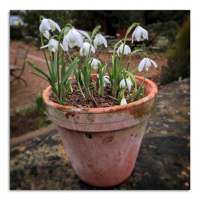 snowdrops-in-a-pot