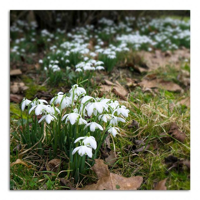 snowdrops-stowe